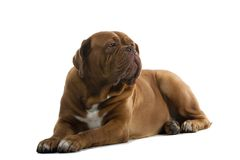 Bordeaux/French Mastiff Dog Royalty Free Stock Photography
