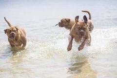 Bordeaux hund Arkivbilder