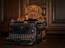 Bordeaux-Hundewelpe - französischer Mastiff - acht Wochen Stockbilder