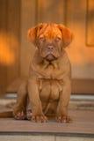 Bordeaux hundvalp Royaltyfri Bild