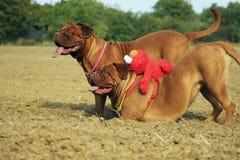 Bordeaux mastiff Stock Image
