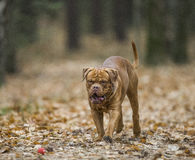 Bordeaux Mastiff runs in the autumn park. Funny picture. Stock Photography