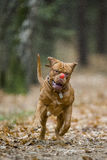 Bordeaux Mastiff runs in the autumn park. Funny picture. Royalty Free Stock Photos