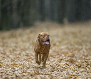 Bordeaux Mastiff runs in the autumn park. Funny picture. Royalty Free Stock Photo
