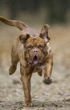 Bordeaux Mastiff runs in the autumn park. Funny picture. Royalty Free Stock Image