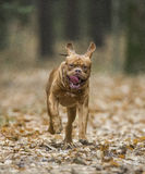 Bordeaux Mastiff runs in the autumn park. Funny picture. Stock Photo