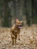 Bordeaux Mastiff runs in the autumn park. Funny picture. Stock Images