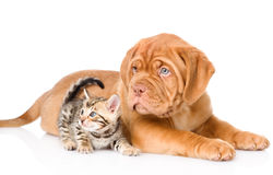 Bordeaux puppy dog and bengal kitten together. isolated. On white Royalty Free Stock Photo