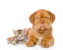Bordeaux puppy dog and bengal kitten together. isolated on white.  Royalty Free Stock Photography