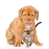 Bordeaux puppy dog and bengal kitten together. isolated on white Stock Photo