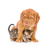 Bordeaux puppy dog and bengal kitten together. isolated on white Stock Photography