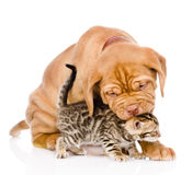 Bordeaux puppy dog biting bengal kitten. isolated on white backg Stock Photography