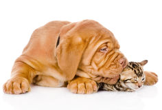 Bordeaux puppy dog biting bengal kitten. isolated on white Royalty Free Stock Photo