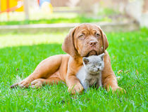 Bordeaux puppy dog embracing cute kitten on green grass.  Stock Image