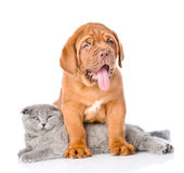 Bordeaux puppy dog with gray cat. isolated on white background.  Royalty Free Stock Photo
