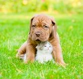 Bordeaux puppy dog hugs newborn kitten on green grass.  Stock Image
