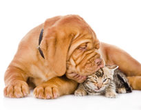 Bordeaux puppy dog kisses bengal kitten. isolated Royalty Free Stock Photos