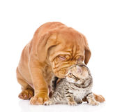 Bordeaux puppy dog kisses bengal kitten. isolated on white Stock Photos