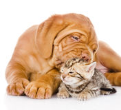 Bordeaux puppy dog kisses bengal kitten. isolated on white Royalty Free Stock Image