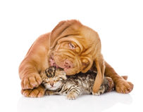 Bordeaux puppy dog licking bengal kitten. isolated Stock Photos