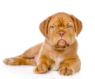 Bordeaux puppy dog looking at camera. isolated on white. Background Royalty Free Stock Photo