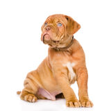 Bordeaux puppy dog looking up. isolated on white background Royalty Free Stock Images