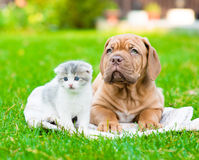 Bordeaux puppy dog lying with small kitten on green grass.  Stock Photo