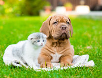 Bordeaux puppy dog lying with small kitten on green grass.  Stock Photos