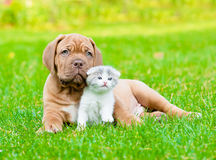 Bordeaux puppy dog with newborn kitten on green grass.  Stock Images