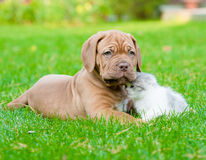 Bordeaux puppy dog with newborn kitten on green grass.  Royalty Free Stock Photography