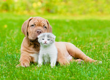 Bordeaux puppy dog with newborn kitten on green grass.  Stock Image