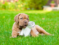 Bordeaux puppy dog with newborn kitten on green grass Stock Images