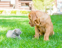 Bordeaux puppy dog and newborn kitten on green grass.  Royalty Free Stock Photos
