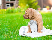 Bordeaux puppy dog with newborn kitten on green grass looking away Royalty Free Stock Photography