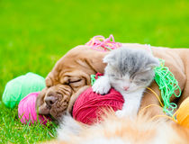 Bordeaux puppy dog and newborn kitten sleeping together on green grass Royalty Free Stock Photos