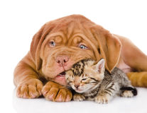 Bordeaux puppy dog playing with  bengal kitten. isolated Royalty Free Stock Images