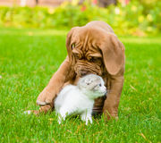 Bordeaux puppy dog playing with kitten Stock Photography