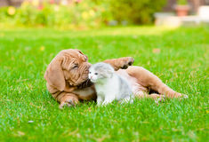 Bordeaux puppy dog playing with kitten on green grass Royalty Free Stock Photography