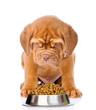 Bordeaux puppy dog sitting with a bowl of dry dog food. isolated Stock Image