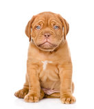 Bordeaux puppy dog sitting in front. isolated on white Royalty Free Stock Image