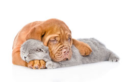 Bordeaux puppy embracing sleeping cat. isolated on white background.  royalty free stock images