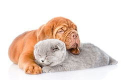 Bordeaux puppy embracing sleeping cat. on white stock images