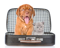 Bordeaux puppy and gray kitten sitting together in a bag. isolat Stock Image