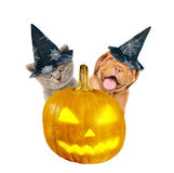 Bordeaux puppy and kitten  with hat for halloween peeks out from behind a pumpkin .  on white background Stock Photos