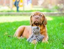 Bordeaux puppy lying with a kitten on the green grass Stock Photography