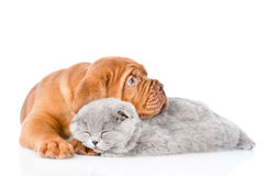 Bordeaux puppy lying with sleeping cat. isolated on white royalty free stock photo
