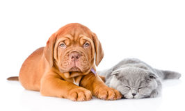 Bordeaux puppy lying with a sleeping gray cat. isolated on white Stock Image