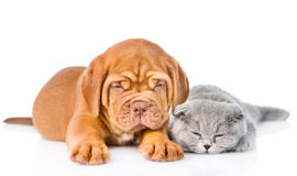 Bordeaux puppy lying with a sleeping gray cat. isolated on white Stock Images
