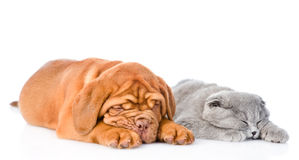 Bordeaux puppy sleep with gray cat. isolated on white background Stock Images
