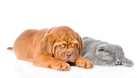 Bordeaux puppy sleep with gray cat. isolated on white background Stock Photo